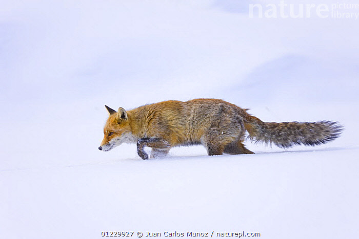 Red fox {Vulpes vulpes} walking through thick snow, Gran Paradiso NP, Valsavarenche, Aosta valley, Italian alps, ALPS,CARNIVORES,EUROPE,FOXES,ITALY,MAMMALS,MOUNTAINS,NP,PROFILE,RESERVE,SNOW,VERTEBRATES,WALKING,WINTER,National Park,Dogs,Canids,Catalogue1, Juan Carlos Munoz