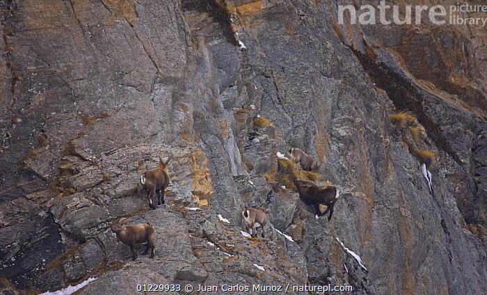 Ibex {Capra ibex} on steep rock face, Gran Paradiso NP, Valsavarenche, Aosta valley, Italian alps, ARTIODACTYLA,CLIFFS,CLIMBING,EUROPE,GOATS,GROUPS,ITALY,MAMMALS,MOUNTAINS,NP,RESERVE,ROCKS,VERTEBRATES,WINTER,Geology,National Park,Antelopes, Juan Carlos Munoz