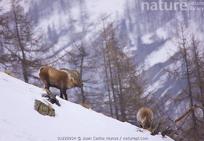 Ibex {Capra ibex} male and female in snow, Gran Paradiso NP, Valsavarenche, Aosta valley, Italian alps, ARTIODACTYLA,EUROPE,GOATS,ITALY,LANDSCAPES,MALE FEMALE PAIR,MAMMALS,MOUNTAINS,NP,RESERVE,SNOW,VERTEBRATES,WINTER,National Park,Antelopes, Juan Carlos Munoz