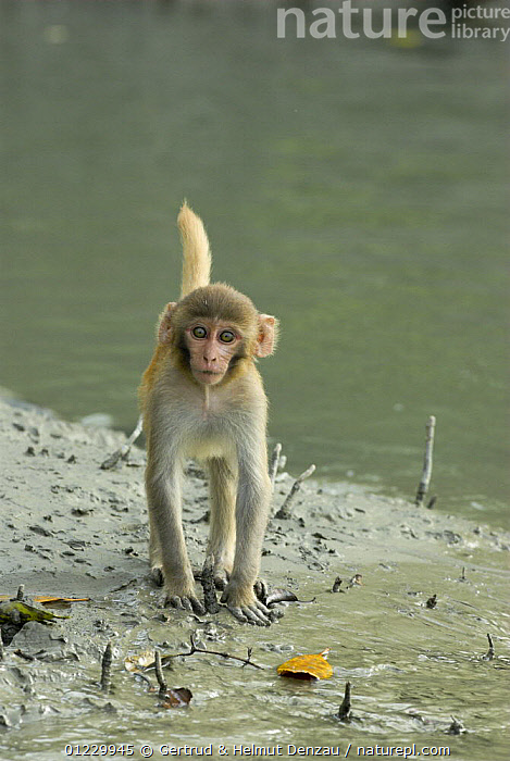 Young Rhesus macaque (Macaca mulatta) on the bank of a creek in the Sundarbans Mangrove Forest, West Bengal, India, ASIA,CUTE,INDIAN SUBCONTINENT,JUVENILE,MACAQUES,MAMMALS,MANGROVES,MONKEYS,MUD,PORTRAITS,PRIMATES,RESERVE,VERTEBRATES,VERTICAL,WATER, Gertrud & Helmut Denzau