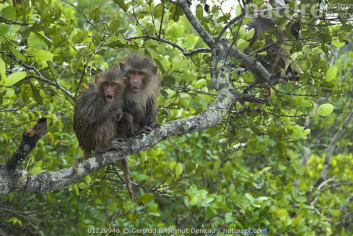 Two wet Rhesus macaques (Macaca mulatta) huddled together on a branch after a monsoon shower, Sundarban Mangrove Forest, West Bengal, India, ASIA,BEHAVIOUR,INDIAN SUBCONTINENT,MACAQUES,MAMMALS,MONKEYS,PRIMATES,RESERVE,TREES,VERTEBRATES,PLANTS, Gertrud & Helmut Denzau