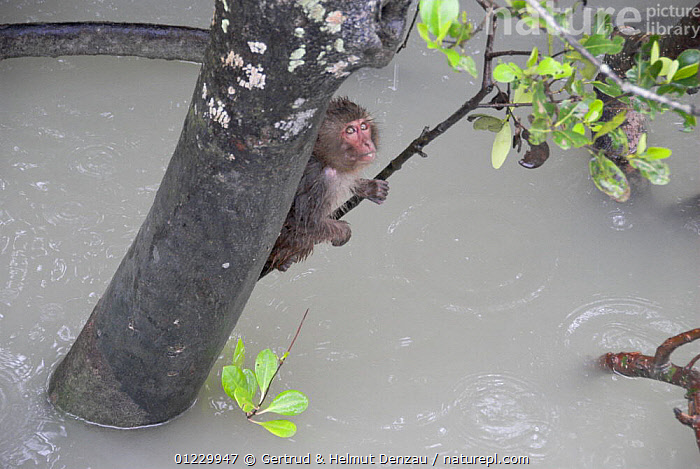 Rhesus macaque (Macaca mulatta) clinging to a branch after a monsoon shower, Sundarbans Mangrove Forest, West Bengal, India, ASIA,BEHAVIOUR,FLOODING,FLOODS,INDIAN SUBCONTINENT,MACAQUES,MAMMALS,MONKEYS,PRIMATES,RESERVE,TREES,VERTEBRATES,WATER,PLANTS, Gertrud & Helmut Denzau