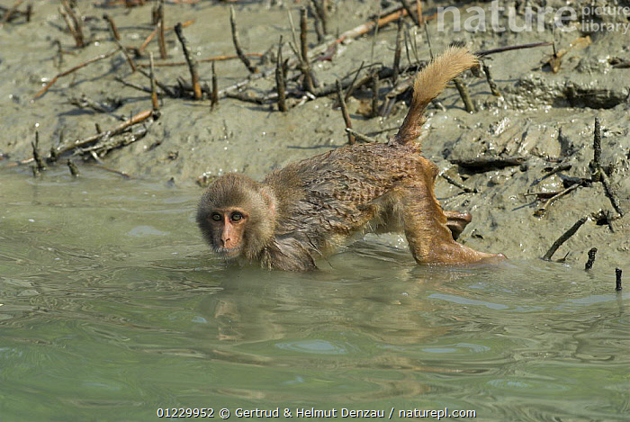 Rhesus macaque (Macaca mulatta) searching for food under water in a creek, Sundarbans Mangrove forest, West Bengal, India, ASIA,BEHAVIOUR,FORAGING,INDIAN SUBCONTINENT,MACAQUES,MAMMALS,MONKEYS,PRIMATES,RESERVE,VERTEBRATES,WATER, Gertrud & Helmut Denzau