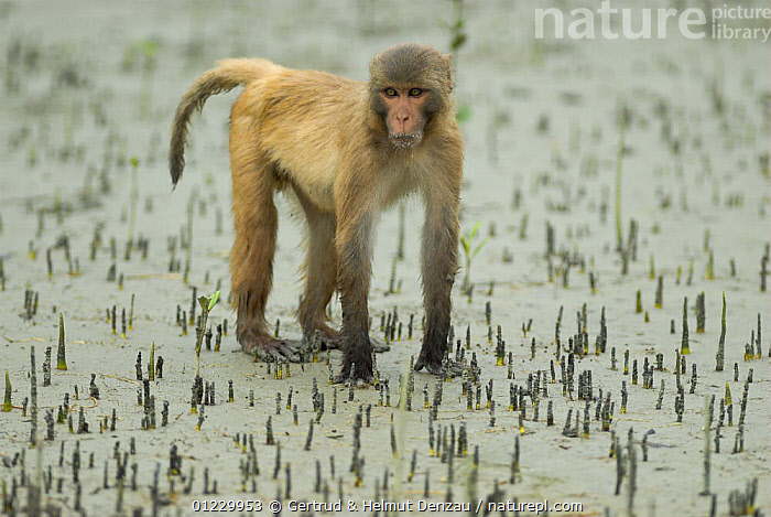 Rhesus macaque (Macaca mulatta) during low tide in the mud with areal roots and mangrove sprouts, Sundarbans Mangrove forest, West Bengal, India, ASIA,INDIAN SUBCONTINENT,MACAQUES,MAMMALS,MANGROVES,MONKEYS,PORTRAITS,PRIMATES,RESERVE,VERTEBRATES, Gertrud & Helmut Denzau
