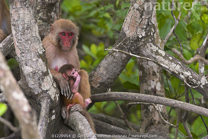 Rhesus macaque (Macaca mulatta) mother with infant, Sundarbans Mangrove forest, West Bengal, India, ASIA,BABIES,INDIAN SUBCONTINENT,MACAQUES,MAMMALS,MANGROVES,MONKEYS,MOTHER BABY,PRIMATES,RESERVE,VERTEBRATES, Gertrud & Helmut Denzau