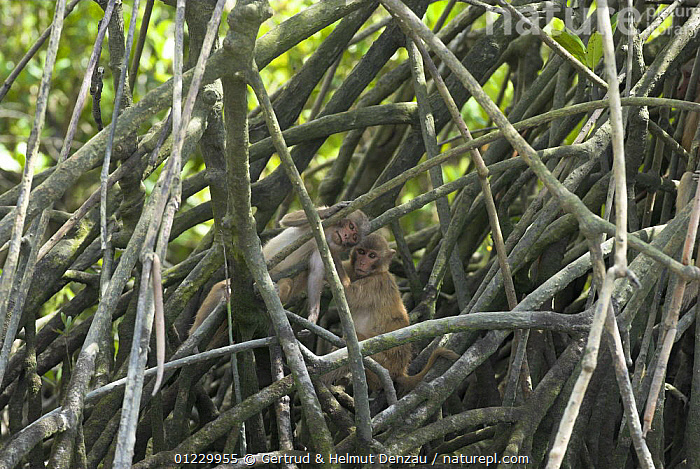 Young Rhesus macaques (Macaca mulatta) playing in mangrove stilt roots, Sundarbans Mangrove forest, West Bengal, India, ASIA,INDIAN SUBCONTINENT,JUVENILE,MACAQUES,MAMMALS,MANGROVES,MONKEYS,PLAY,PRIMATES,RESERVE,ROOTS,TWO,VERTEBRATES,Communication, Gertrud & Helmut Denzau