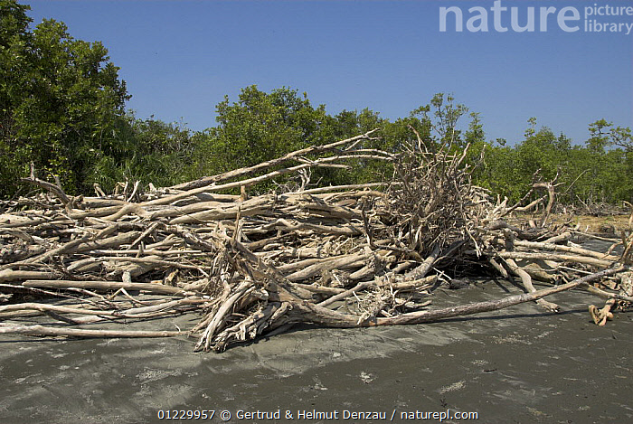 Driftwood after cyclone Sidr (November 15 2007) caused destruction on the beach of Mandabaria island, Sundarbans Mangrove forest, Bangladesh, ASIA,BEACHES,DAMAGE,DESTRUCTION,LANDSCAPES,RESERVE,STORMS,TREES,WEATHER,WIND,WOOD,INDIAN-SUBCONTINENT,PLANTS, Gertrud & Helmut Denzau