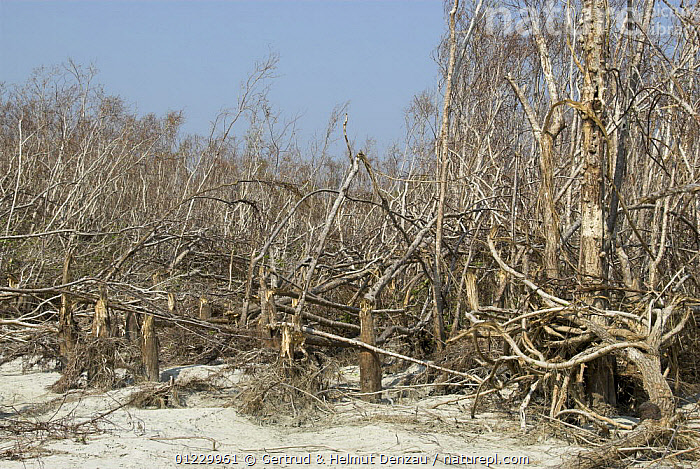 Destruction of Mangrove forest by cyclone Sidr on November 15 2007, Sundarban East Wildlife Sanctuary, Sundarbans Mangrove forest, Bangladesh, ASIA,DAMAGE,DESTRUCTION,LANDSCAPES,MANGROVES,RESERVE,STORMS,TREES,WEATHER,WIND,INDIAN-SUBCONTINENT,PLANTS, Gertrud & Helmut Denzau