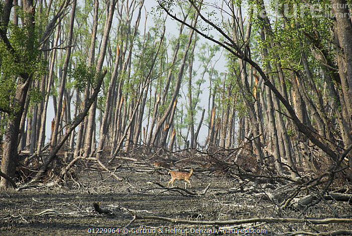 Spotted / Chital deer {Axis axis} in damaged coastal mangrove forest (Keora, Sonneratia apetala) two months after cyclone Sidr (November 15 2007) Sundarban East Wildlife Sanctuary, Sundarbans Mangrove forest, Bangladesh, ARTIODACTYLA,ASIA,DAMAGE,DEER,DESTRUCTION,LANDSCAPES,MAMMALS,MANGROVES,RESERVE,STORMS,TREES,VERTEBRATES,WEATHER,WIND,INDIAN-SUBCONTINENT,PLANTS, Gertrud & Helmut Denzau