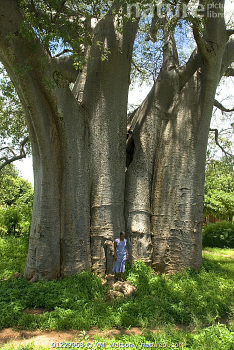 Baobab tree (Adansonia digitata) with woman standing beside tree for scale, Malawi, February 2008, DICOTYLEDONS,LARGE,malawi,MALVACEAE,PEOPLE,PLANTS,SIZE,SOUTHERN AFRICA,TREES,TRUNKS,VERTICAL, Will Watson