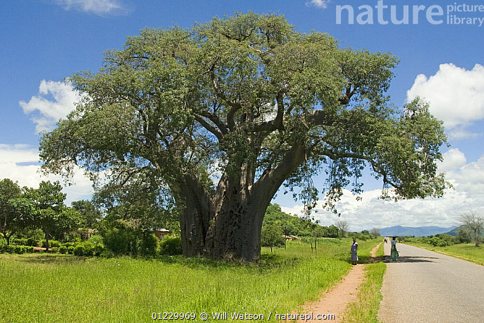 Baobab tree (Adsonia digitata) with women standing beside tree for scale, on the road from Lillongwe to Chipoka, Malawi. February 2008, DICOTYLEDONS,LANDSCAPES,malawi,MALVACEAE,PEOPLE,PLANTS,ROADS,SOUTHERN AFRICA,WOMAN, Will Watson