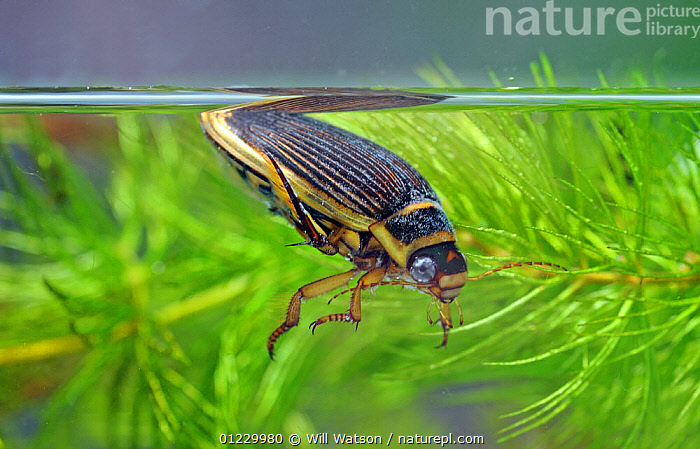 The Wasp diving beetle (Dytiscus circmflexus) taking air, captive, England, AQUATIC,COLEOPTERA,EUROPE,FRESHWATER,GREEN,INSECTS,INVERTEBRATES,PLANTS,TEMPERATE,UK,UNDERWATER,WATER BEETLES, United Kingdom, Will Watson