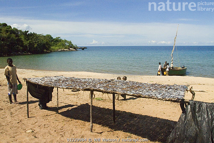 Cichlid fish drying in sun on a rack, beach on Lake Malawi (Lake Niassa), Niassa Province, Mozambique February 2008, BEACHES,BOATS,FISHING,LAKES,LANDSCAPES,PEOPLE,SOUTHERN AFRICA,TRADITIONAL, Will Watson