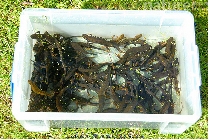 Great crested newts (Triturus cristatus) and Smooth newts (Triturus / Lissotriton vulgaris) being counted and sexed after capture from bottle traps under licence from a pond in Shropshire, England, May 2008, AMPHIBIANS,CONSERVATION,EUROPE,FRESHWATER,MIXED SPECIES,NEWTS,RESEARCH,TEMPERATE,UK,VERTEBRATES, United Kingdom, Will Watson