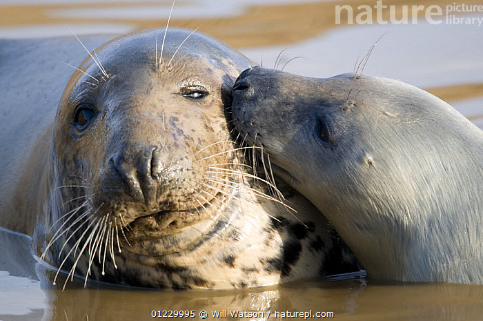 Grey Seal (Halichoerus grypus) pup nuzzling cow, Lincolnshire coast, UK. November, AFFECTIONATE,BABIES,CARNIVORES,COASTS,CUTE,EUROPE,FAMILIES,MAMMALS,MOTHER BABY,PINNIPEDS,SEALS,UK,VERTEBRATES,concepts, CARNIVORES , United Kingdom, Will Watson