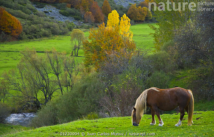 Horse grazing in mountain valley, autumn, Casasuertes, Picos de Europa NP, Leon, Northern Spain October 2006, AUTUMN,CANTABRIAN MOUNTAINS,EUROPE,LANDSCAPES,LIVESTOCK,MOUNTAINS,NP,PONY,RESERVE,RIVERS,SPAIN,National Park, Juan Carlos Munoz