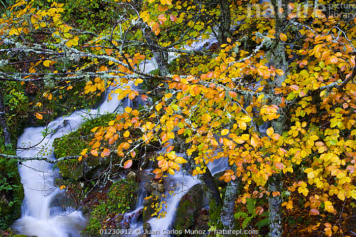 Mountain stream in autumn with beech trees, Picos de Europa NP, Raino, Leon, Northern Spain  October 2006, CANTABRIAN MOUNTAINS,EUROPE,HIGH ANGLE SHOT,LANDSCAPES,MOUNTAINS,NP,RESERVE,RIVERS,SPAIN,STREAMS,WATER,WOODLANDS,National Park, Juan Carlos Munoz