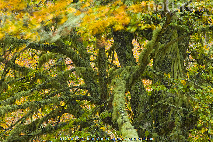 Lichen covered Beech tree in autumn, Picos de Europa NP, Raino, Leon, Northern Spain  October 2006, CANTABRIAN MOUNTAINS,EUROPE,LANDSCAPES,LICHEN,MOUNTAINS,NP,RESERVE,SPAIN,TREES,WOODLANDS,National Park,PLANTS, Juan Carlos Munoz