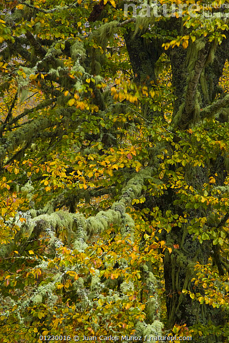 Lichen covered Beech tree in autumn, Picos de Europa NP, Raino, Leon, Northern Spain