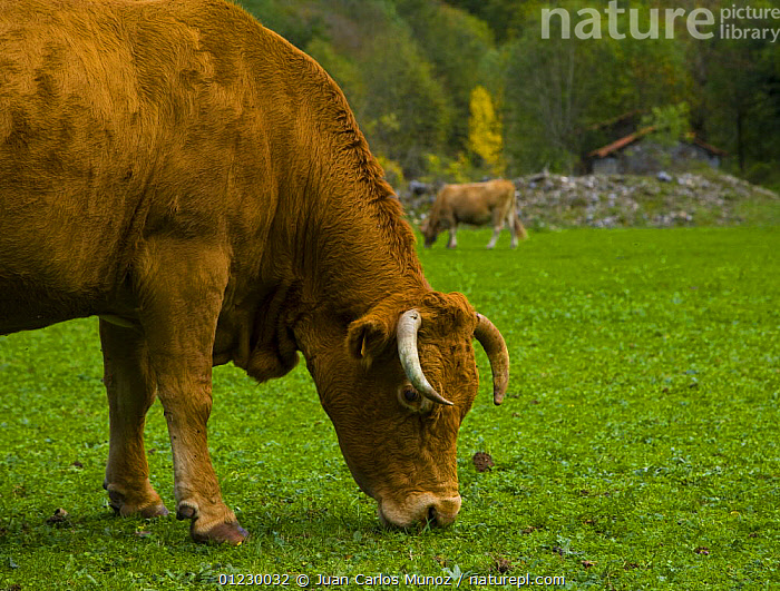 Cow grazing beside the Ruta del Cares path, Pico de Europa NP, Leon, Northern Spain 
