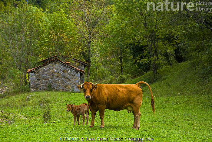 Cow and calf beside the Ruta del Cares path, Pico de Europa NP, Leon, Northern Spain 