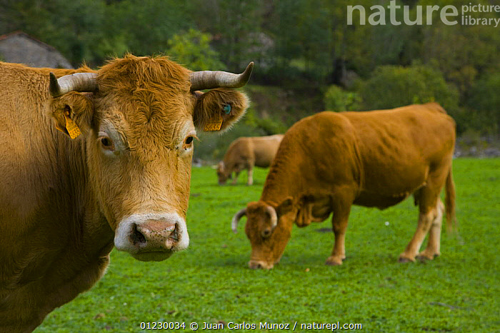 Cows grazing beside the Ruta del Cares path, Pico de Europa NP, Leon, Northern Spain   October 2006, CANTABRIAN MOUNTAINS,CATTLE,COW,EUROPE,LANDSCAPES,LIVESTOCK,MOUNTAINS,NP,PORTRAITS,RESERVE,SPAIN,National Park, Juan Carlos Munoz