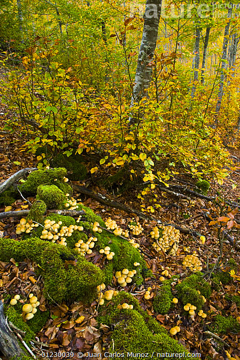 Beech woodland in autumn, Riano, Picos de Europa NP, Leon, Northern Spain