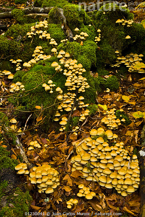 Fungus growing in woodland in autumn, Riano, Picos de Europa NP, Leon, Northern Spain  October 2006, CANTABRIAN MOUNTAINS,EUROPE,FUNGI,GROUPS,NP,RESERVE,SPAIN,VERTICAL,National Park, Juan Carlos Munoz