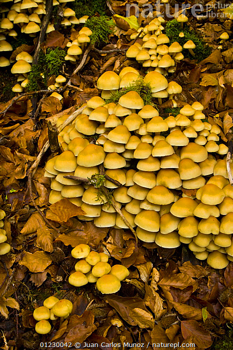 Fungus growing in woodland in autumn, Riano, Picos de Europa NP, Leon, Northern Spain  October 2006, CANTABRIAN MOUNTAINS,EUROPE,FUNGI,GROUPS,NP,RESERVE,SPAIN,VERTICAL,WOODLANDS,National Park, Juan Carlos Munoz