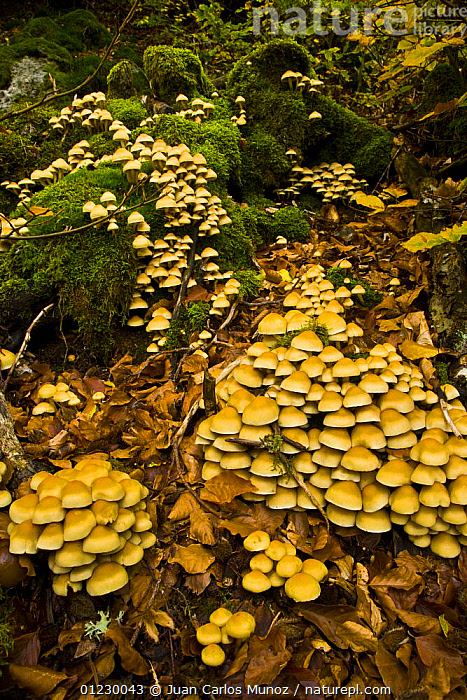 Fungus growing in woodland in autumn, Riano, Picos de Europa NP, Leon, Northern Spain
