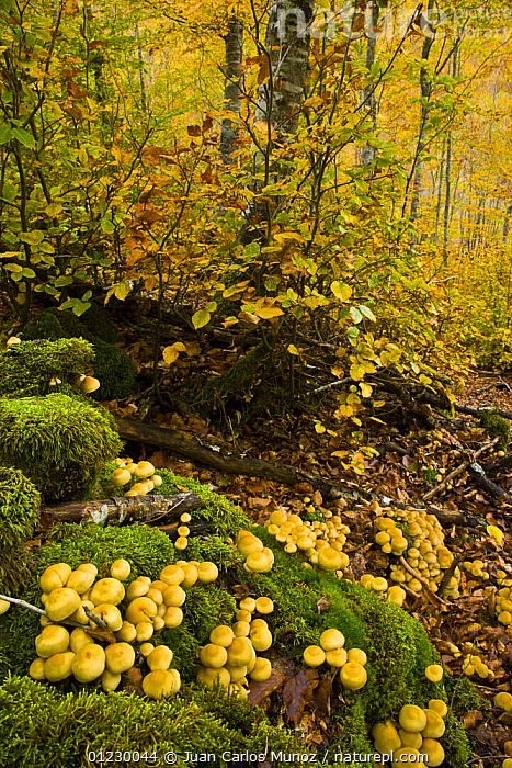 Fungus growing in beech woodland in autumn, Riano, Picos de Europa NP, Leon, Northern Spain