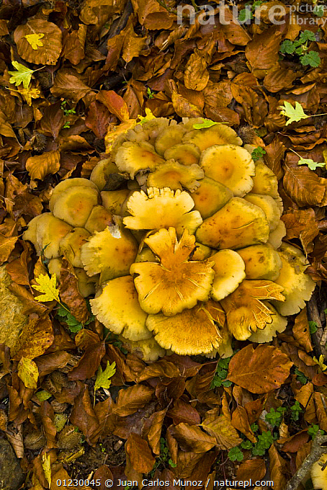 Fungus growing in woodland in autumn, Riano, Picos de Europa NP, Leon, Northern Spain  October 2006, CANTABRIAN MOUNTAINS,EUROPE,FUNGI,NP,RESERVE,SPAIN,VERTICAL,WOODLANDS,National Park, Juan Carlos Munoz