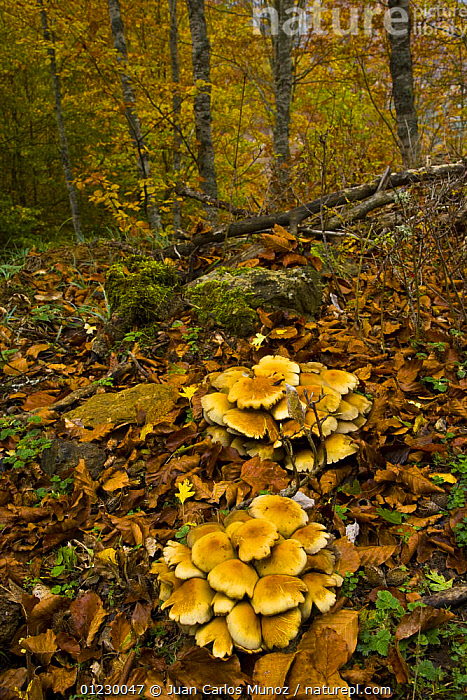 Fungus growing in beech woodland in autumn, Riano, Picos de Europa NP, Leon, Northern Spain  October 2006, CANTABRIAN MOUNTAINS,EUROPE,FUNGI,LANDSCAPES,MOUNTAINS,NP,RESERVE,SPAIN,VERTICAL,WOODLANDS,National Park, Juan Carlos Munoz