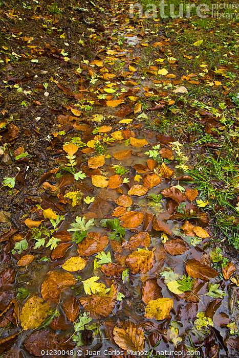 Fallen leaves along a wet path in woodland in autumn, Riano, Picos de Europa NP, Leon, Northern Spain  October 2006, ARTY SHOTS,CANTABRIAN MOUNTAINS,EUROPE,LEAF LITTER,LEAVES,NP,RESERVE,SPAIN,VERTICAL,National Park, Juan Carlos Munoz