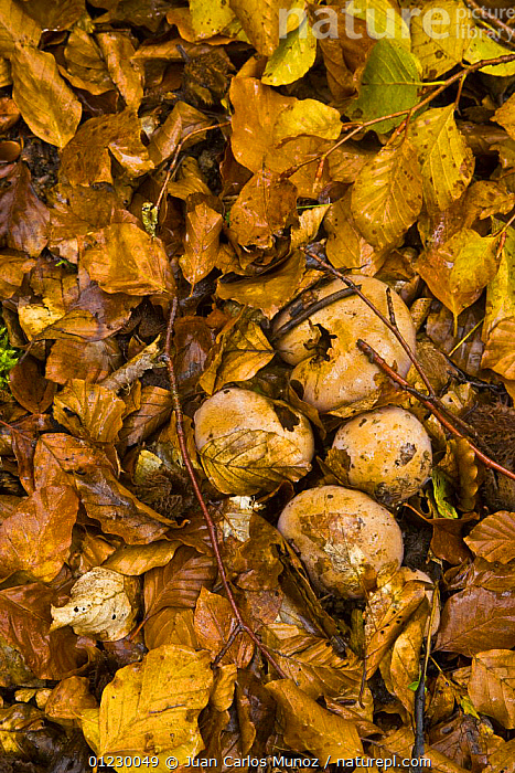 Fungus growing up through the leaf litter in woodland in autumn, Riano, Picos de Europa NP, Leon, Northern Spain