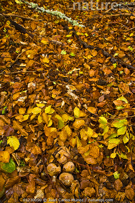 Fungus growing up through the leaf litter in woodland in autumn, Riano, Picos de Europa NP, Leon, Northern Spain  October 2006, CANTABRIAN MOUNTAINS,EUROPE,FUNGI,LEAVES,MOUNTAINS,NP,RESERVE,SPAIN,VERTICAL,WOODLANDS,National Park, Juan Carlos Munoz