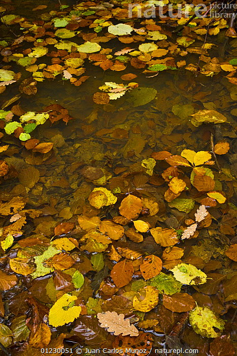 Fallen leaves on water in woodland, autumn, Riano, Picos de Europa NP, Leon, Northern Spain  October 2006, CANTABRIAN MOUNTAINS,EUROPE,LEAF LITTER,LEAVES,MOUNTAINS,NP,RESERVE,RIA�O,SPAIN,VERTICAL,WATER,WOODLANDS,National Park, Juan Carlos Munoz