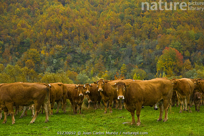 Herd of cattle in autumn, Riano, Picos de Europa NP, Leon, Northern Spain  October 2006, CANTABRIAN MOUNTAINS,COW,COWS,EUROPE,GROUPS,LANDSCAPES,LIVESTOCK,MOUNTAINS,NP,RESERVE,SPAIN,National Park, Juan Carlos Munoz