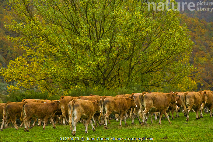 Herd of cattle walking, autumn, Riano, Picos de Europa NP, Leon, Northern Spain  October 2006, CANTABRIAN MOUNTAINS,COW,COWS,EUROPE,GROUPS,LANDSCAPES,LIVESTOCK,MOUNTAINS,NP,RESERVE,SPAIN,National Park, Juan Carlos Munoz