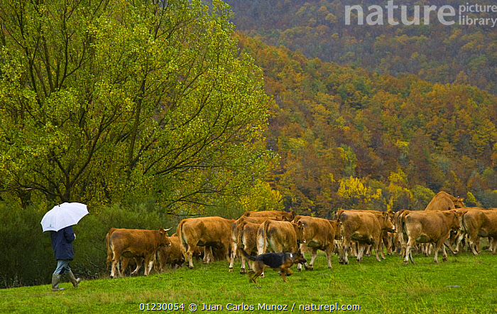 Cattle being herded by man and dog, Riano, Picos de Europa NP, Leon, Northern Spain  October 2006, CANTABRIAN MOUNTAINS,COWS,DOGS,EUROPE,GROUPS,LANDSCAPES,LIVESTOCK,MOUNTAINS,NP,PEOPLE,RAIN,RAINING,RESERVE,SHEPHERD,SPAIN,UMBRELLA,National Park,Weather, Juan Carlos Munoz