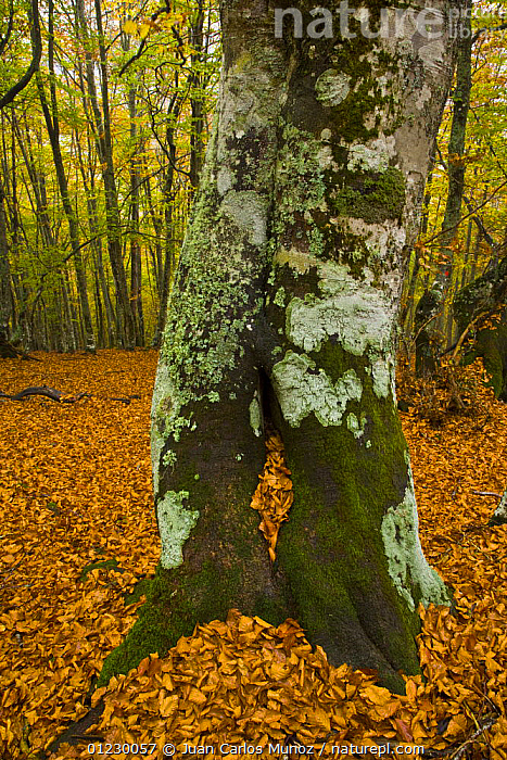 Beech woodland in the autumn, deciduous atlantic forest, Taballon de Mongayu, Redes NP, Asturias, Northern Spain, October 2007, AUTUMN,CANTABRIAN MOUNTAINS,EUROPE,LANDSCAPES,LEAF LITTER,NP,RESERVE,SPAIN,TREES,TRUNKS,VERTICAL,WOODLANDS,National Park,PLANTS, Juan Carlos Munoz