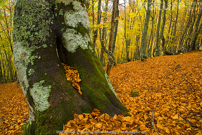 Beech woodland in the autumn, deciduous atlantic forest, Taballon de Mongayu, Redes  NP, Asturias, Northern Spain, October 2007, AUTUMN,CANTABRIAN MOUNTAINS,EUROPE,LANDSCAPES,LEAF LITTER,NP,RESERVE,SPAIN,TREES,TRUNKS,WOODLANDS,National Park,PLANTS, Juan Carlos Munoz
