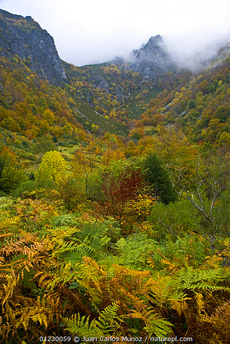 Beech woodland in the autumn, deciduous atlantic forest, Taballon de Mongayu, Redes  NP, Asturias, Northern Spain, October 2007, AUTUMN,CANTABRIAN MOUNTAINS,EUROPE,LANDSCAPES,NP,RESERVE,SPAIN,VERTICAL,WOODLANDS,National Park, Juan Carlos Munoz