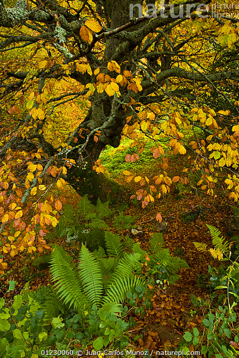 Beech woodland in the autumn, deciduous atlantic forest, Taballon de Mongayu, Redes  NP, Asturias, Northern Spain, October 2007, AUTUMN,CANTABRIAN MOUNTAINS,EUROPE,FERNS,LANDSCAPES,NP,RESERVE,SPAIN,TREES,VERTICAL,WOODLANDS,Plants,National Park, Juan Carlos Munoz