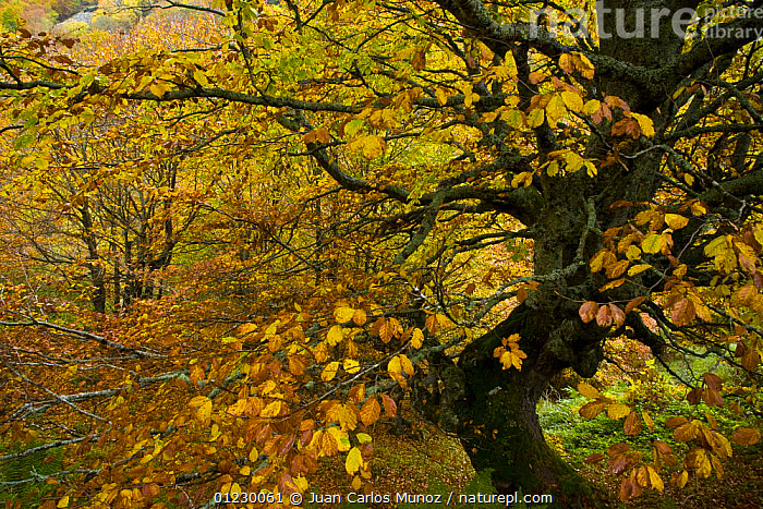 Beech woodland in the autumn, deciduous atlantic forest, Taballon de Mongayu, Redes  NP, Asturias, Northern Spain, October 2007, AUTUMN,CANTABRIAN MOUNTAINS,EUROPE,LANDSCAPES,NP,RESERVE,SPAIN,TREES,WOODLANDS,National Park,PLANTS, Juan Carlos Munoz