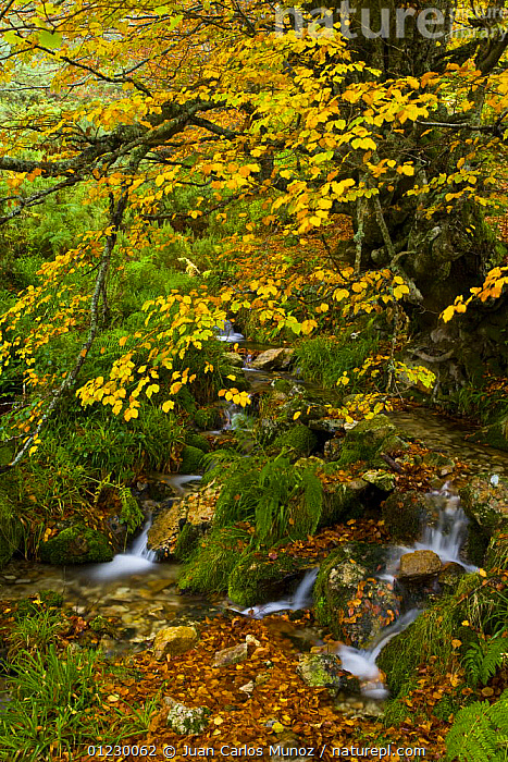 Stream running through Beech woodland in the autumn, deciduous atlantic forest, Taballon de Mongayu, Redes  NP, Asturias, Northern Spain, October 2007, AUTUMN,CANTABRIAN MOUNTAINS,EUROPE,LANDSCAPES,NP,RESERVE,SPAIN,STREAMS,TREES,VERTICAL,WATER,WOODLANDS,National Park,PLANTS, Juan Carlos Munoz