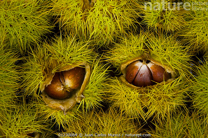 Chestnuts from Sweet chestnut tree {Castenea sativa} Redes NP, Asturias, Northern Spain, October 2007, AUTUMN,CANTABRIAN MOUNTAINS,EDIBLE,EUROPE,FRUIT,LANDSCAPES,NP,NUTS,RESERVE,SEEDS,SPAIN,SPINES,WOODLANDS,Plants,National Park,Catalogue1, Juan Carlos Munoz