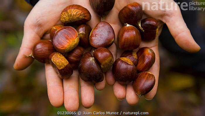 Chestnuts from Sweet chestnut tree {Castenea sativa} Redes NP, Asturias, Northern Spain, October 2007, AUTUMN,CANTABRIAN MOUNTAINS,EDIBLE,EUROPE,FRUIT,HANDS,HARVESTING,LANDSCAPES,NP,NUTS,PEOPLE,RESERVE,SEEDS,SPAIN,WOODLANDS,Plants,National Park, Juan Carlos Munoz