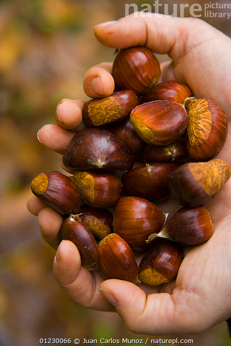 Chestnuts from Sweet chestnut tree {Castenea sativa} Redes NP, Asturias, Northern Spain, October 2007, AUTUMN,CANTABRIAN MOUNTAINS,CONCEJO,DICOTYLEDONS,EDIBLE,EUROPE,FAGACEAE,FRUIT,HANDS,LANDSCAPES,NP,NUTS,PEOPLE,PLANTS,RESERVE,SEEDS,SPAIN,VERTICAL,WOODLANDS,National Park, Juan Carlos Munoz