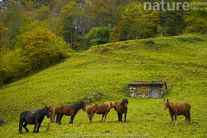 Horses in the Redes NP, Ruta del Alba path, Asturias, Northern Spain, October 2007, AUTUMN,CANTABRIAN MOUNTAINS,EUROPE,GROUPS,HORSE,LANDSCAPES,LIVESTOCK,NP,PONIES,PONY,RESERVE,SPAIN,WOODLANDS,National Park, Juan Carlos Munoz